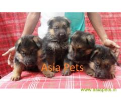 German Shepherd Dog (Alsatian) For Sale In India, German Shepherd Dog (Alsatian) Price In India