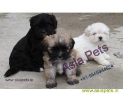 Lhasa Apso Puppies For Sale In India, Lhasa Apso Price In India