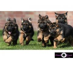 German shepherd Heavy Bone Puppies For Sale In Delhi, German shepherd puppies in best price