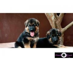 German shepherd Heavy Bone Puppy In Delhi, German shepherd puppy in best price