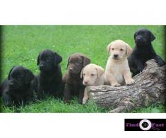 Labrador puppies for sale delhi| Labrador pups for sale in delhi