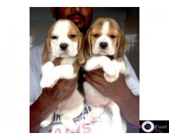Beagle Puppy in Delhi, Beagle price in Delhi