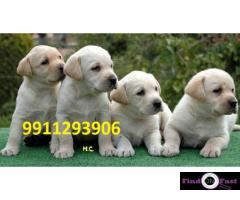 Labrador puppies for sale delhi, Labrador pups for sale in delhi