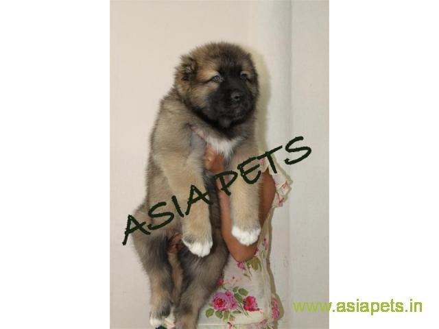 Cane Corso Pups Price In Nagpur Cane Corso Pups For Sale In Nagpur
