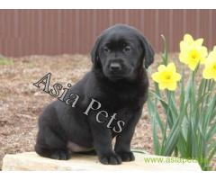 Labrador pups price in Pune , Labrador pups for sale in Pune