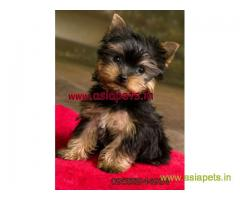 yorkshire terrier pups for sale in Delhi at best price