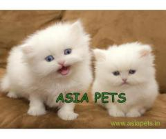 Persian cats  for sale in Ghaziabad Best Price