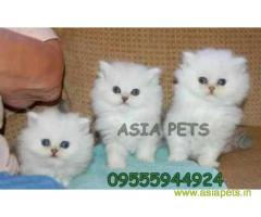 Persian cats  for sale in indore Best Price