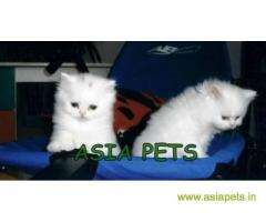 Persian cats  for sale in Ranchi Best Price