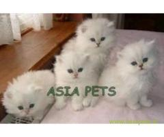 Persian cats  for sale in kochi Best Price