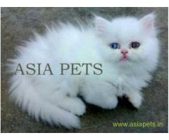 Persian cats  for sale in thiruvanthapuram Best Price