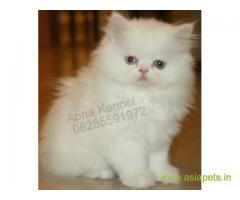 Persian cats  for sale in  vizag Best Price