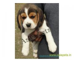 Beagle puppy  for sale in Kanpur Best Price