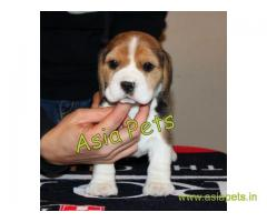 Beagle puppy  for sale in kochi Best Price