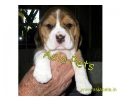 Beagle puppy  for sale in patna Best Price