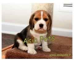 Beagle puppy  for sale in surat Best Price