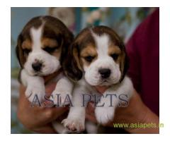 Beagle puppy  for sale in  vizag Best Price