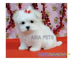 Maltese Puppy in Chandigarh at best price