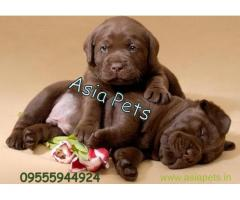 chocolate labrador puppies for sale in mumbai best price