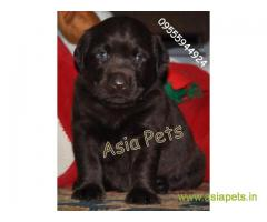 Chocolate labrador pups for sale in delhi best price