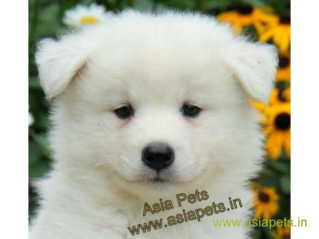 Samoyed Puppies For In Patna On