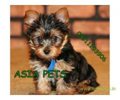 tea cup Yorkie puppies for sale in Delhi on best price asiapets