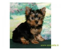 tea cup Yorkie puppies for sale in Patna on best price asiapets