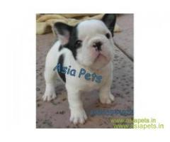 tea cup Yorkie puppies for sale in Thane on best price asiapets