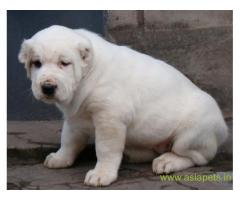 Alabai puppies for sale in Vizag on best price asiapets