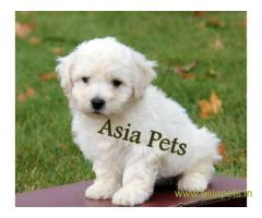 Bichon frise  Puppies for sale good price in delhi