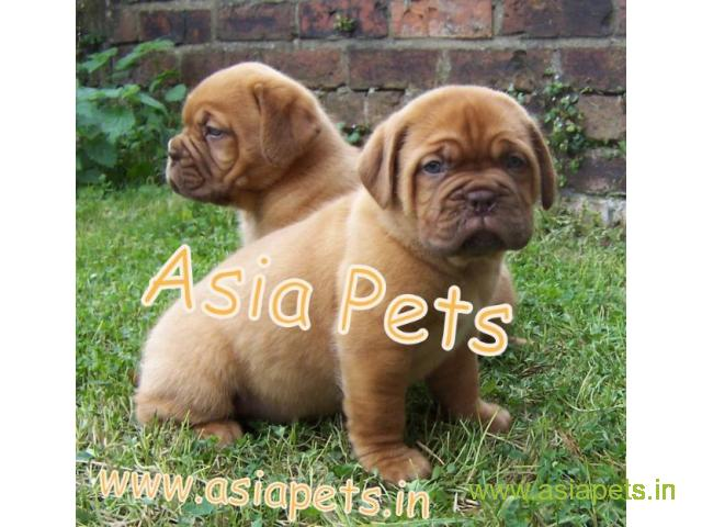 French Mastiff Puppies For Good