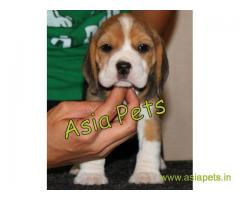 Beagle  Puppy good price in delhi