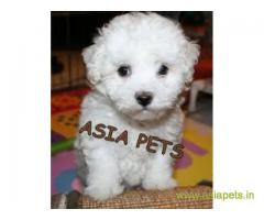 Bichon frise  Puppy good price in delhi