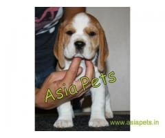 Beagle  Puppy best price in delhi